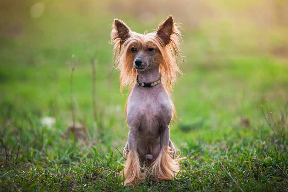 Picture of a Chinese Crested Dog