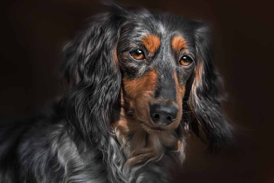 Picture of an older dachshund