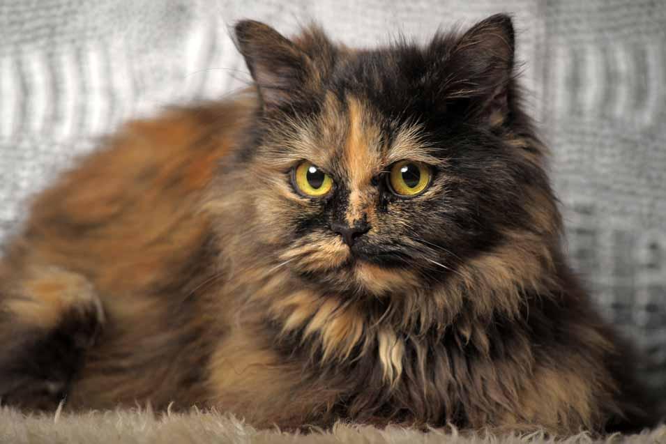 Persian Tortoiseshell Cat