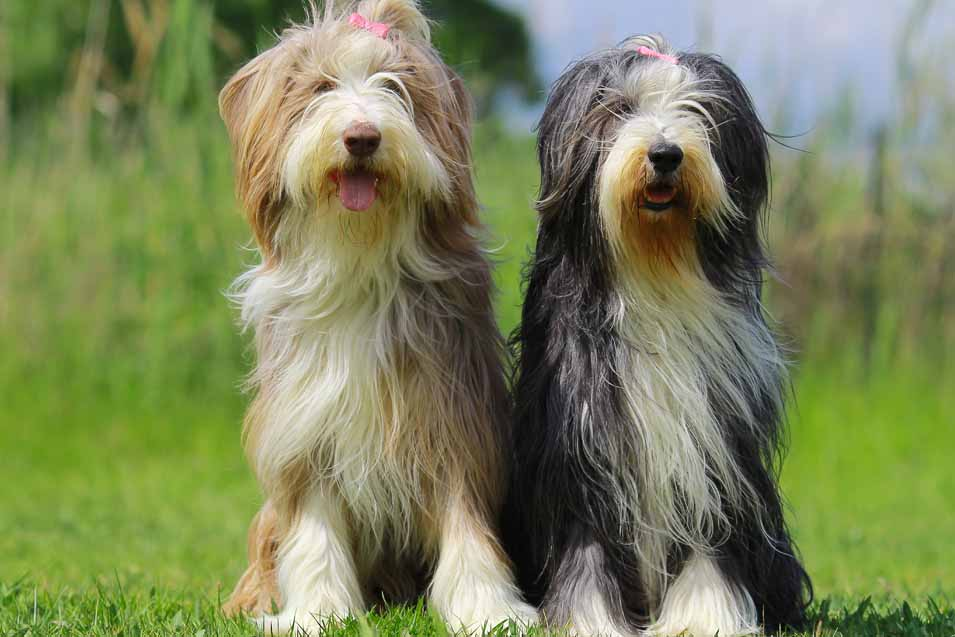 Picture of 2 Bearded Collies
