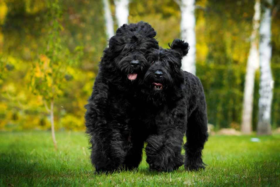 Picture of a Black Russian Terrier