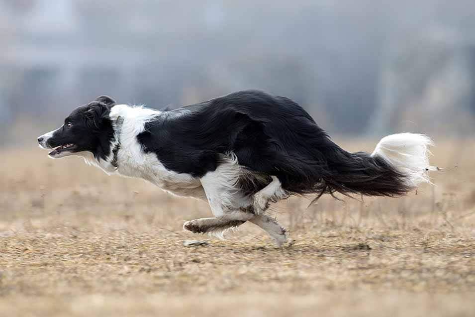 Picture of a Border Collie running in field