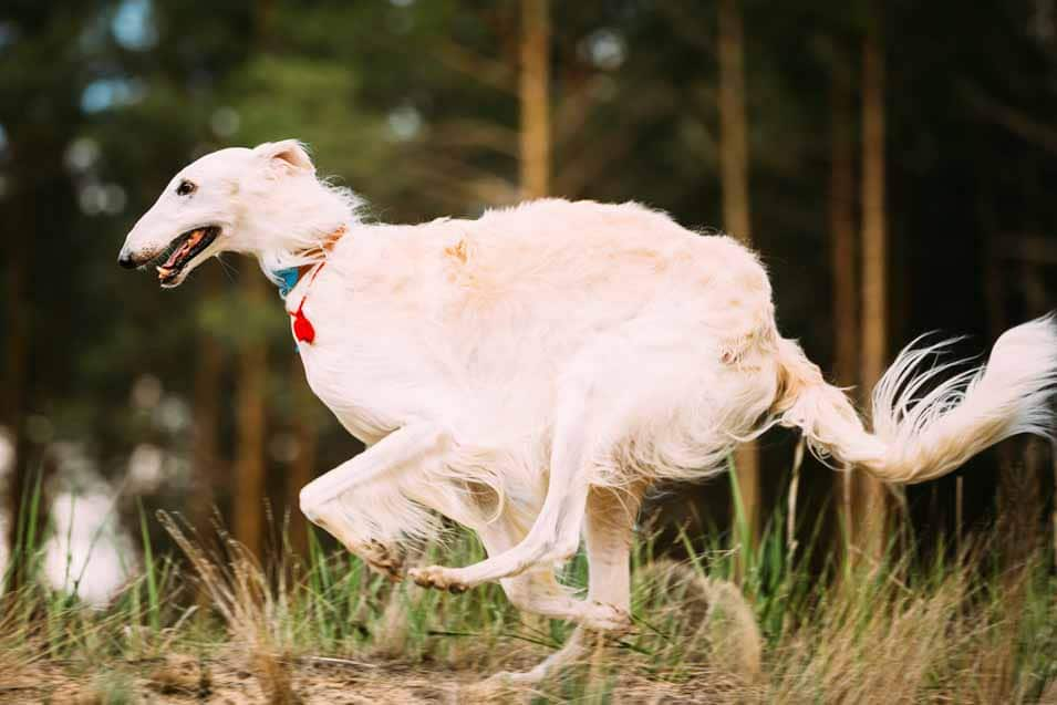 Picture of a Borzoi running