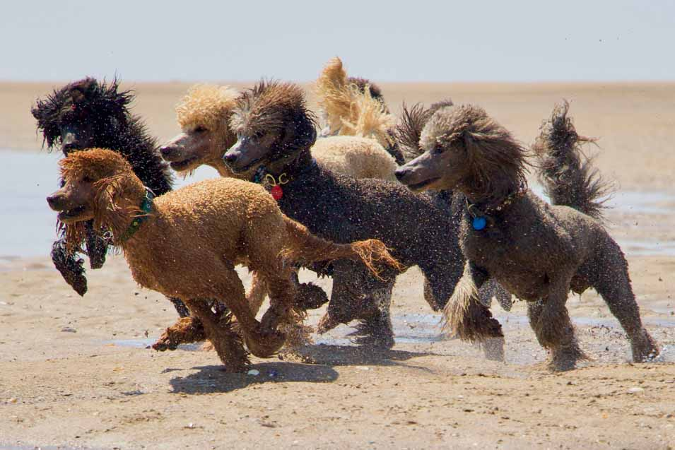 Picture of several poodles running on the beach