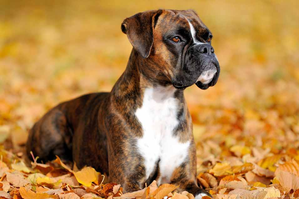 Picture of a Boxer Dog