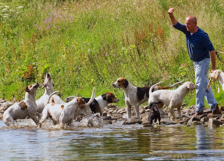 english foxhound breed profile