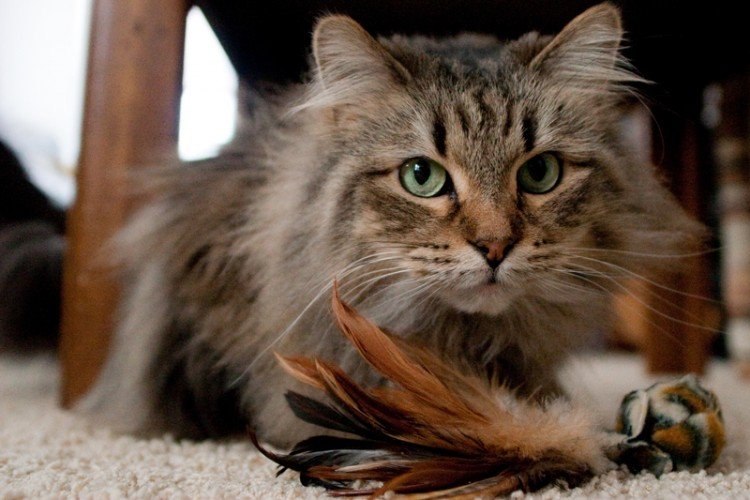 remove mats from a long-haired cat