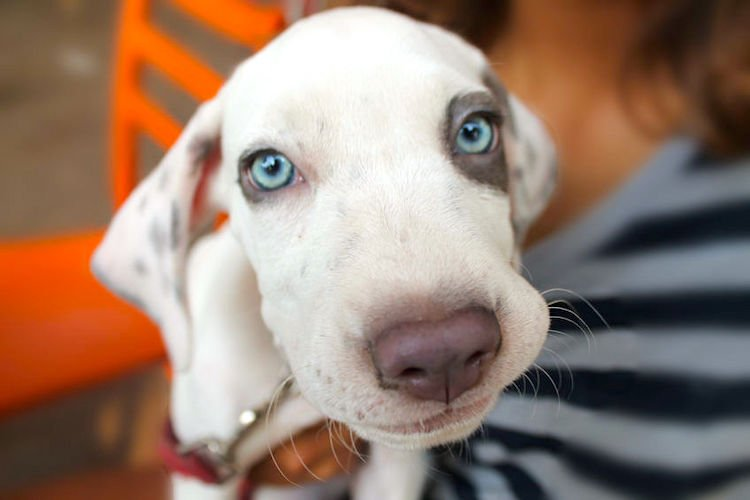 Blue-eyed Dalmatian and deafness