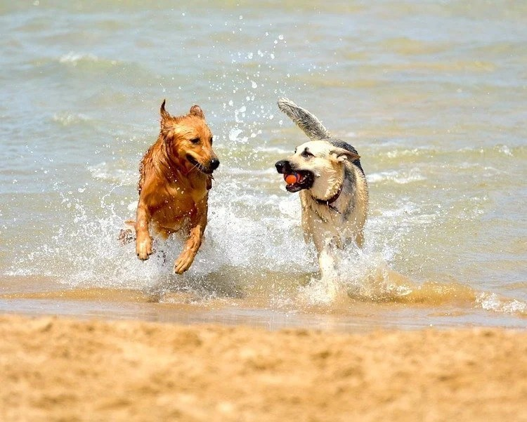 Dogs playing at the beach