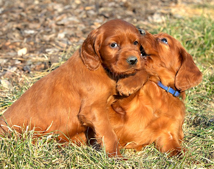 Photo of 2 Irish Setter puppies play-biting
