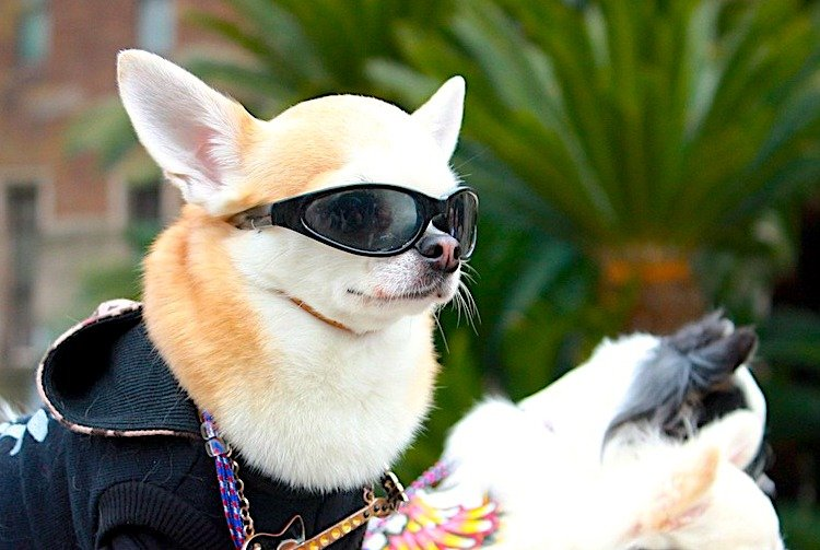 Photo of a Chihuahua looking really cool wearing doggy sunglasses and a jacket