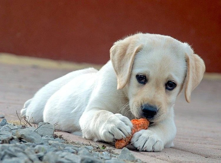 Photo of a cute Labrador Retriever photo looking up at the camera while playing with an orange toy or piece of carrot.
