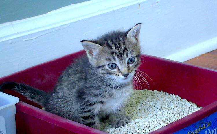 Photo of a small kitten using a litter box
