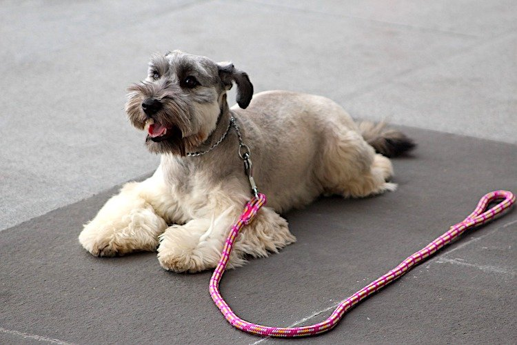 Photo of dog lying down with leash by their side, staying in place