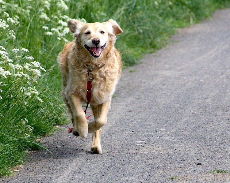 Photo of a Golden Retriever running toward the viewer