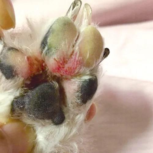 犬の足裏トラブル写真