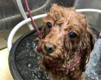 犬のシャンプー周期の見極め法