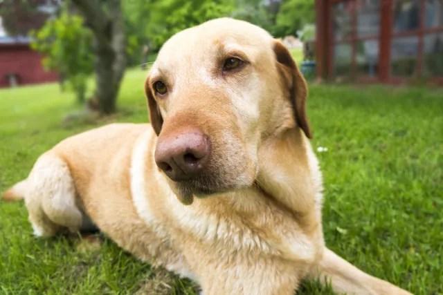 盲導犬レトリバー