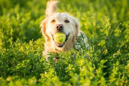 テニスボールのギネス犬