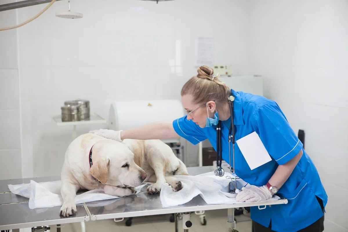動物看護師に撫でられる大きな犬