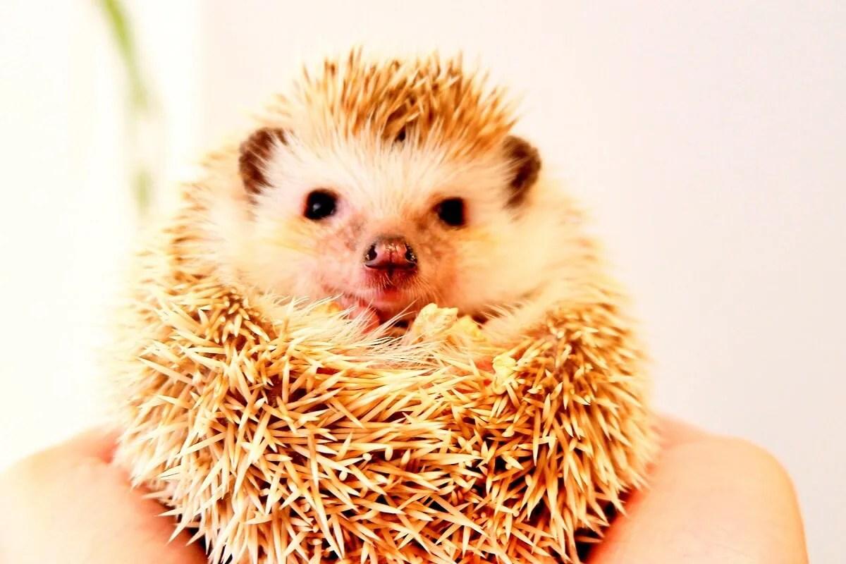 ハリネズミ 小動物 珍ペット