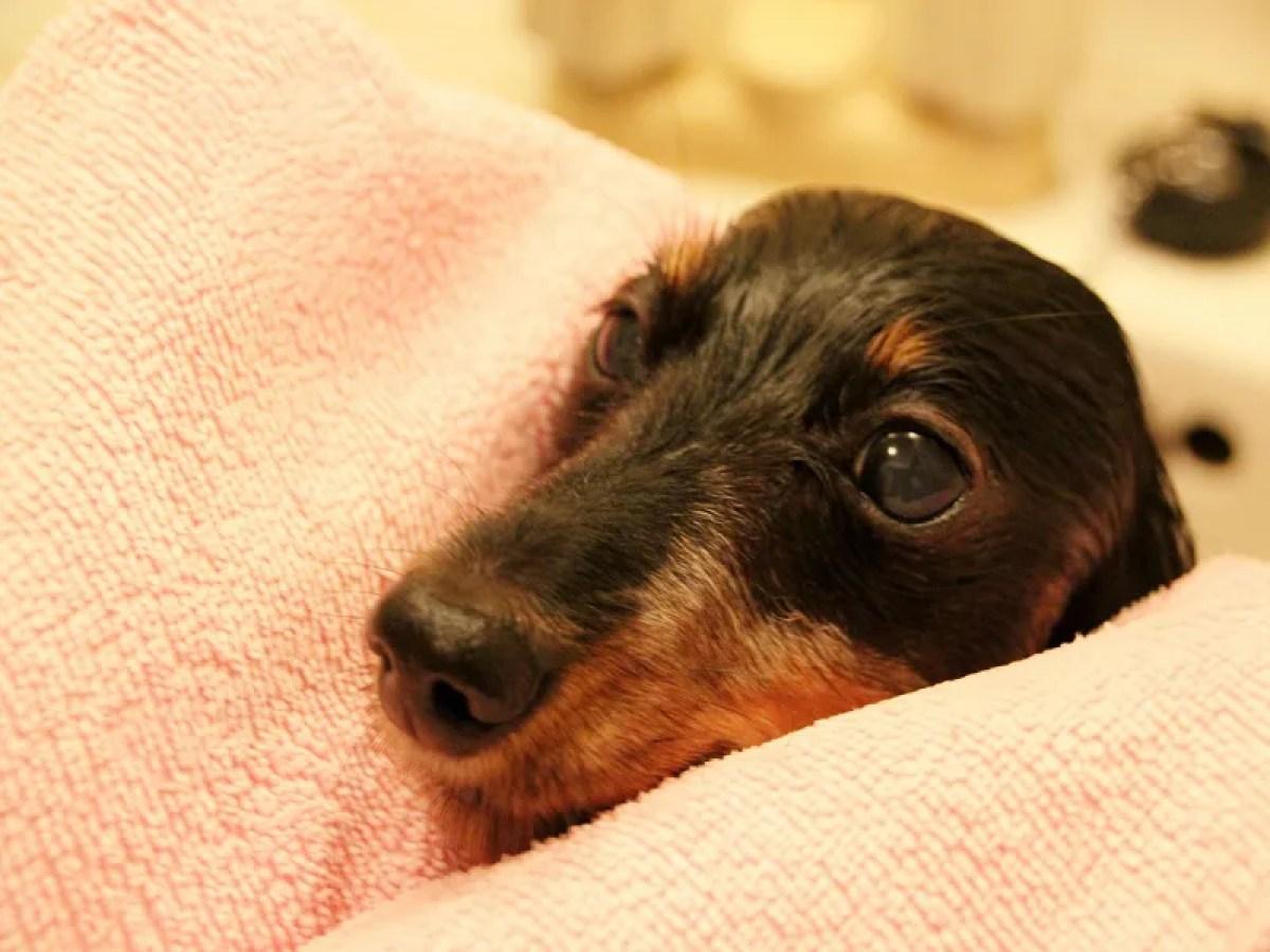 シャワー タオル 犬
