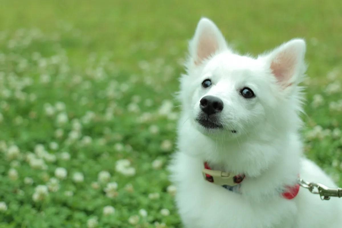 不安げに見上げる白い犬