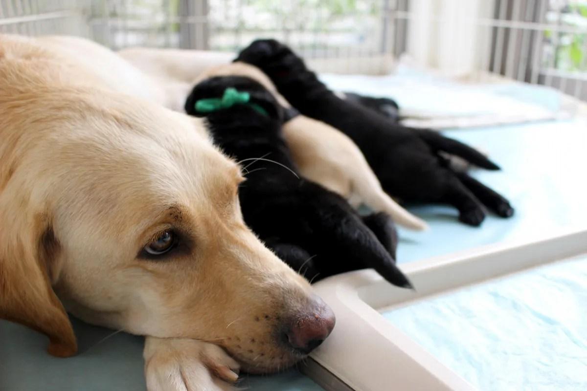 たくさんの子供に乳を飲ませている母犬