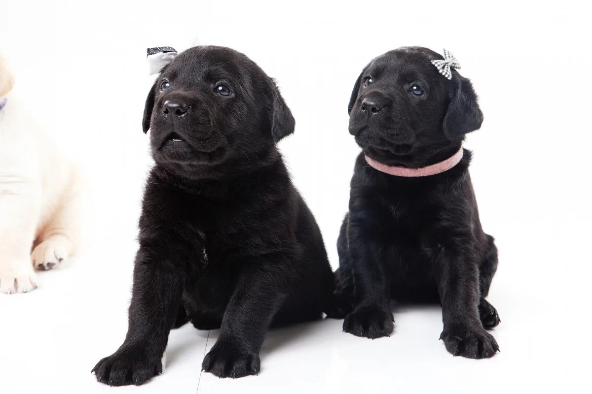 リボンをつけた二匹の黒いラブラドールレトリーバーの子犬