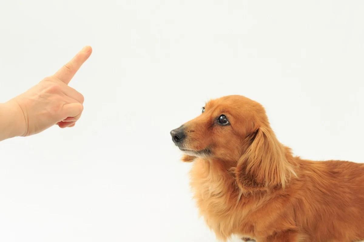 しつけられている犬