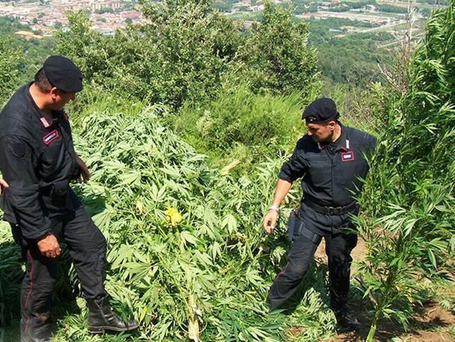 Blizt antidroga: A Caccuri scoperta una piantagione di marijuana