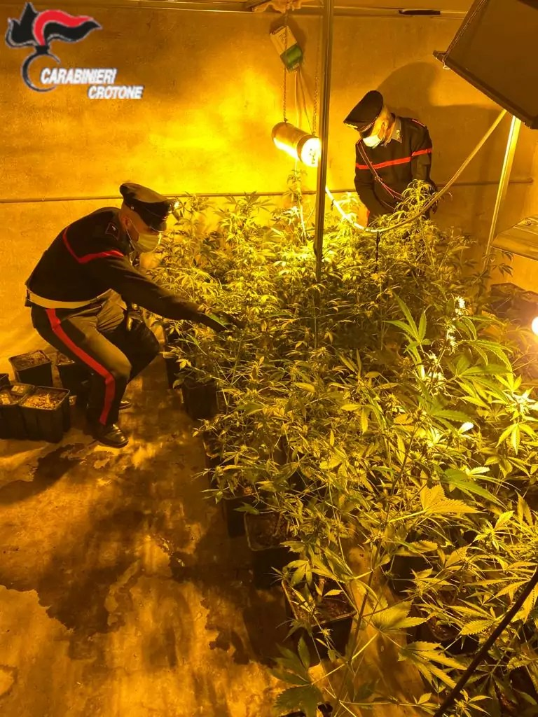 Scoperta serra con 33 piante di cannabis