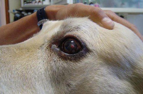 Corneal Ulcers In Dogs