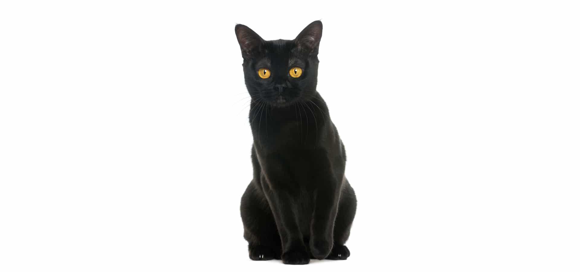 Bombay-cat-insurance