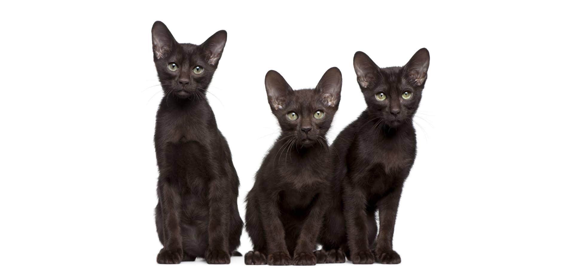 Havana-Brown-Cat-Insurance2