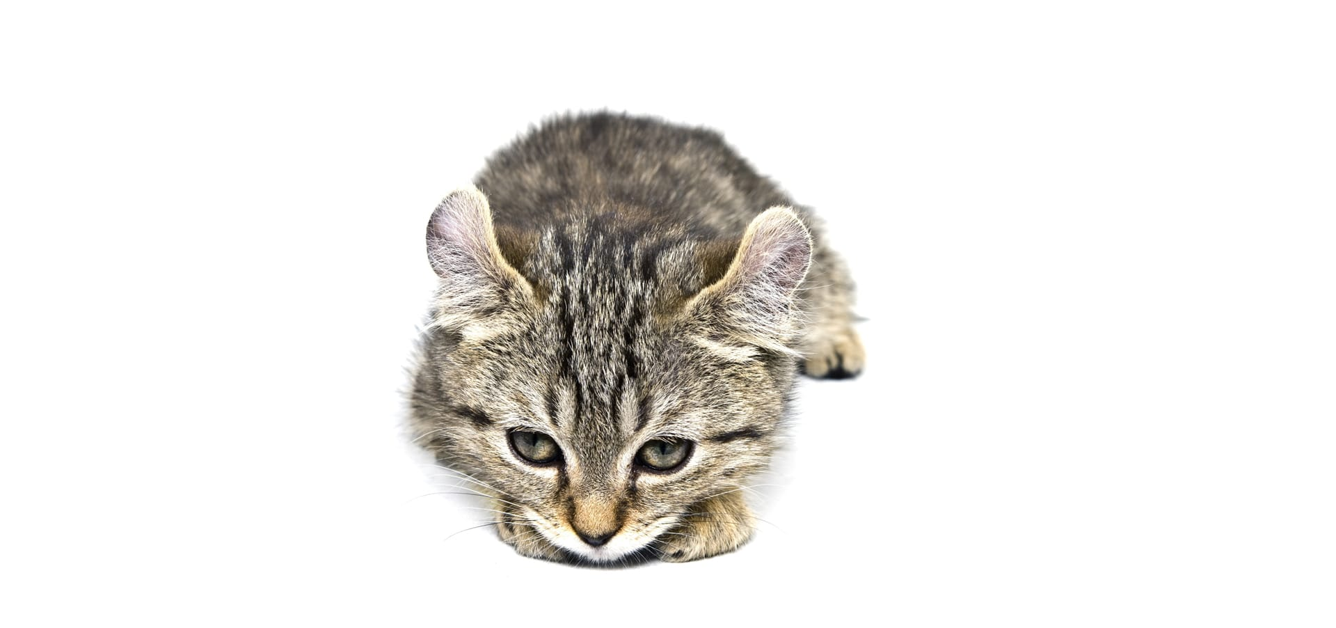 Highland-Lynx-Cat