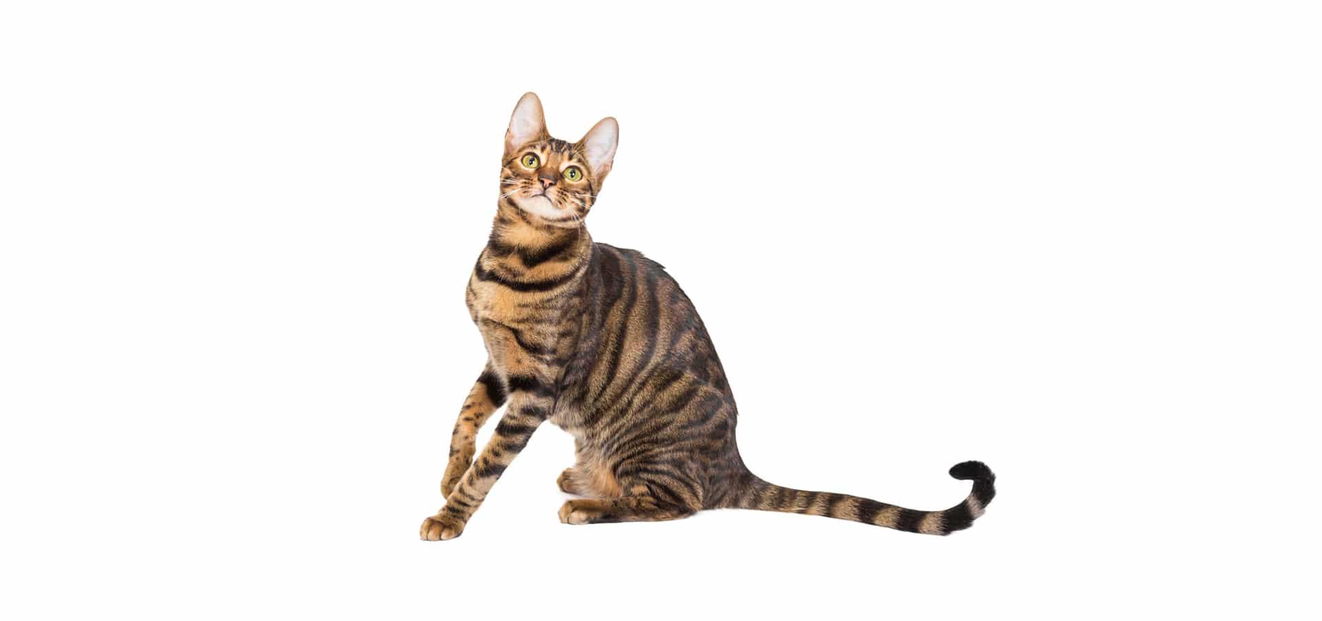 Toyger-Cat-Insurances