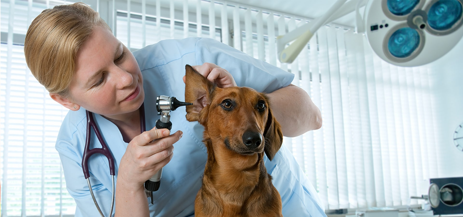dogs ear infections