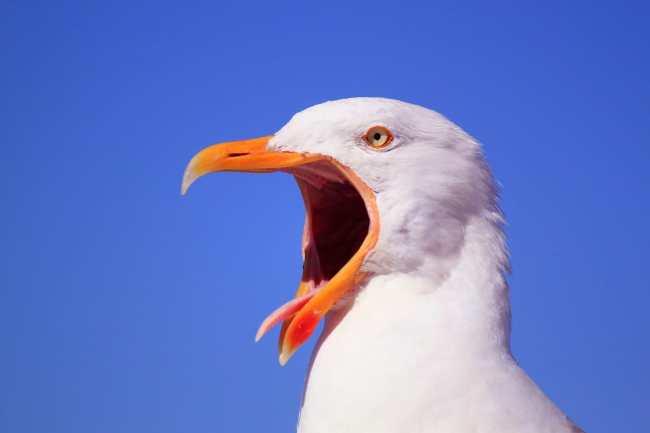seagull scream