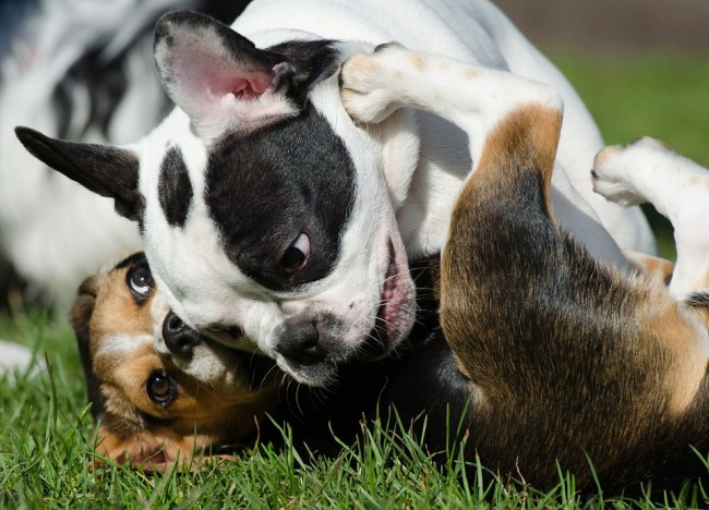 puppies-662816_960_720