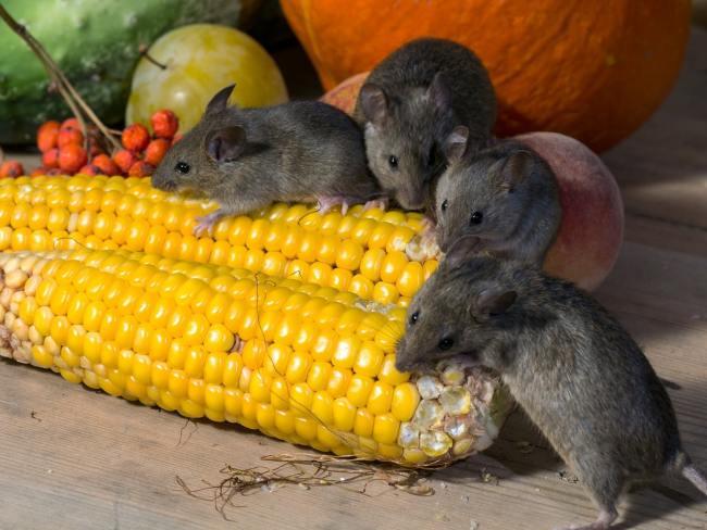 mice corn