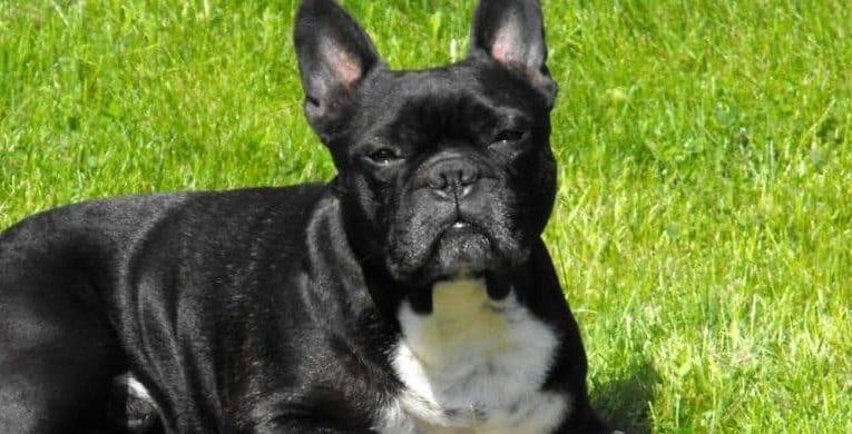 french bulldog physical characteristics
