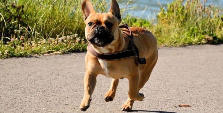 french bulldog training