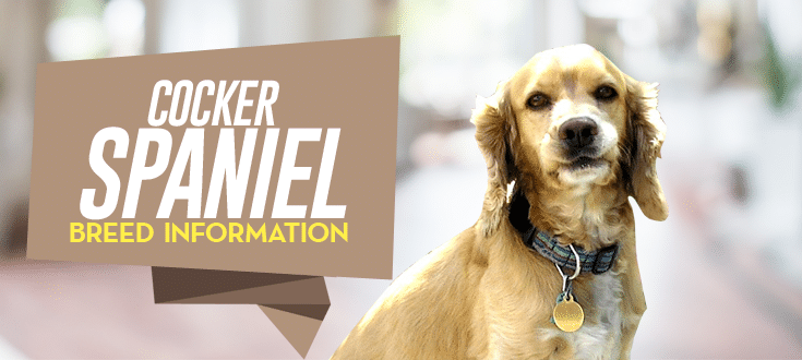 cocker spaniel breed information