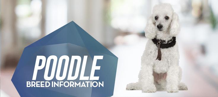 poodle breed information