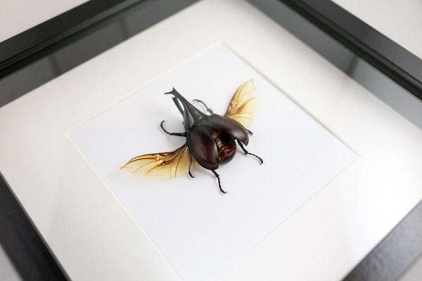 scarabée sous cadre