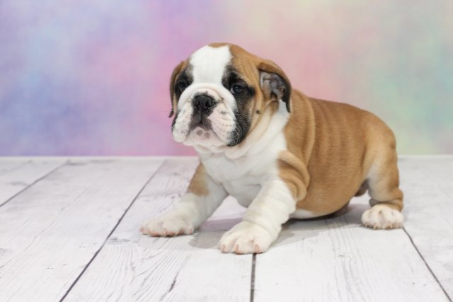 english bulldog puppies for sale - get one of these loyal pups!