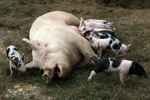 Baby Swine Pig Out On Dogs Milk In Cuba PetMD
