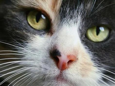 Bagheera the Diabetic Cat Explains Whiskers