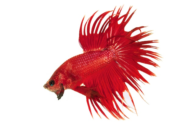 Facts About Betta Fish | petMD